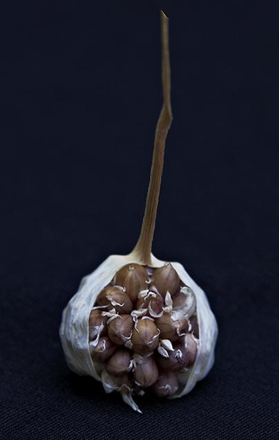 Garlic Blossom Pod