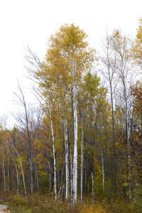 Birches Leelanau 2014